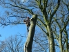 beech tree dismantle haverbreaks